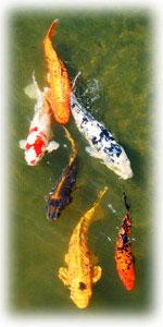 Japanese Garden gold fish