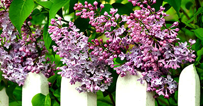 white picket garden fence with lilacs